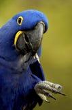 Pájaro - Macaw del jacinto (hyacinthinus de Anodorhynchus) foto de archivo