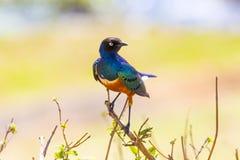 Pájaro magnífico colorido del estornino en Tanzania Fotografía de archivo