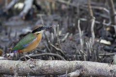 Pájaro: Magrove Pitta Imagen de archivo