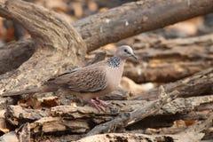 Pájaro manchado de la paloma Imágenes de archivo libres de regalías