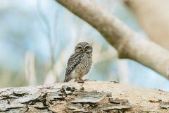 Pájaro manchado del mochuelo [brama del Athene] Foto de archivo libre de regalías