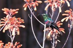 Pájaro maravilloso en Kenia, Marico Sunbird Foto de archivo