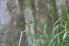 Pájaro marrón de los abeja-comedores del cuello Fotos de archivo libres de regalías