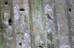 Pájaro marrón de los abeja-comedores del cuello fuera de la cueva Imagen de archivo libre de regalías