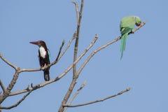 Pájaro: Martín pescador y Rose Ringed Parakeet Perched Throated blancos en árbol imagen de archivo libre de regalías