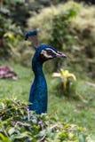 Pájaro masculino azul colorido del pavo real Foto de archivo