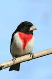 Pájaro masculino de Rose-breasted Imagenes de archivo