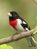 Pájaro masculino de Rose-breasted Imagen de archivo libre de regalías
