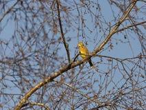 Pájaro masculino de Yellowhammer Imagenes de archivo