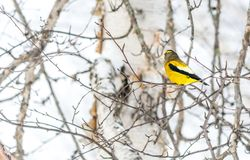 Pájaro masculino del pájaro de tarde que celebra Año Nuevo por el menos veinticinco grados de cent3igrado Fotografía de archivo