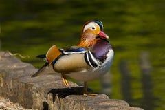 Pájaro masculino del galericulata del aix del pato de mandarín en plumaje de crianza lleno fotografía de archivo