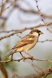 Pájaro masculino del gorrión de casa que se sienta en una rama Fotografía de archivo