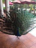 Pájaro masculino del pavo real en Jamaica; Extensión de las plumas de cola Fotos de archivo