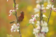 Pájaro masculino del pinzón de casa Imagenes de archivo