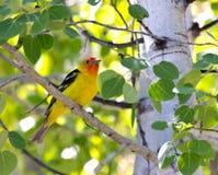 Pájaro masculino del Tanager occidental en árbol Imagenes de archivo
