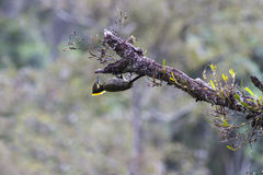 Pájaro: Mayor Yellownape Foto de archivo libre de regalías