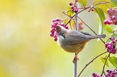 Pájaro minúsculo hermoso con las bayas Fotos de archivo