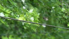 Pájaro mojado del tarareo que prepara en el alambre eléctrico almacen de video
