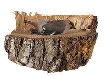 Pájaro muerto en un pedazo de tronco del abedul aislado en el fondo blanco Fotografía de archivo libre de regalías