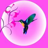 Pájaro multicolor del tarareo Fotografía de archivo