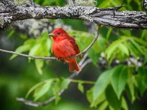 Pájaro n de Taneger del verano un árbol Imágenes de archivo libres de regalías