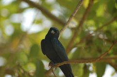 Pájaro negro Fotos de archivo libres de regalías