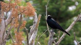 Pájaro negro almacen de video