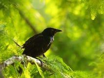 Pájaro negro Foto de archivo