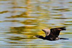 Pájaro negro Imagenes de archivo
