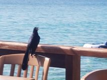 Pájaro negro imágenes de archivo libres de regalías