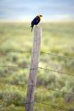 pájaro negro Amarillo-con alas en el carril de cerca, cerca de Lakeview Montana en primavera Fotografía de archivo libre de regalías