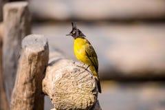 pájaro Negro-con cresta del Bulbul Fotos de archivo libres de regalías
