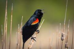 Pájaro negro de alas rojas fotografía de archivo