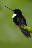 Pájaro negro de Ecuador Inca agarrado, torquata de Coeligena, colibrí blanco y negro verde oscuro en Colombia Ingenio de la escen Imagenes de archivo