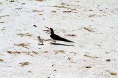 Pájaro negro de la madre de la desnatadora con el polluelo joven Fotos de archivo