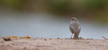 Pájaro negro de Redstart en el puente de piedra Fotografía de archivo