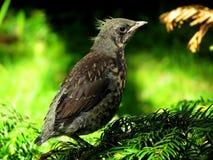 Pájaro negro del bebé en el parque Fotografía de archivo libre de regalías