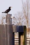 Pájaro negro del cormorán en un bolardo Foto de archivo libre de regalías