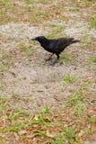 Pájaro negro del cuervo Fotos de archivo