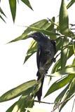 Pájaro negro del drongo en el fondo blanco Imágenes de archivo libres de regalías