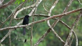 Pájaro negro Dicrurus Macrocercus del Drongo que se sienta en rama de árbol almacen de video