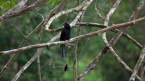Pájaro negro Dicrurus Macrocercus del Drongo que se sienta en rama de árbol almacen de metraje de vídeo