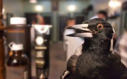 Pájaro negro embalsamado en Barber Shop Imágenes de archivo libres de regalías