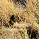 Pájaro negro en alta hierba Imagenes de archivo