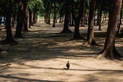 Pájaro negro en bosque del pino Fotografía de archivo libre de regalías