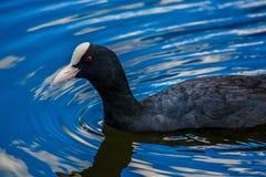 Pájaro negro en el agua Fotografía de archivo