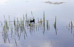 Pájaro negro en el día de primavera imagenes de archivo