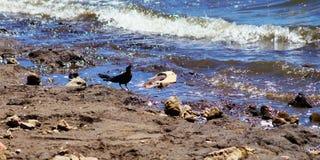Pájaro negro en la orilla imagenes de archivo