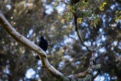 Pájaro negro en Nueva Zelanda imagenes de archivo