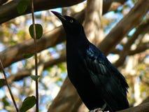 Pájaro negro en rama de árbol Imagen de archivo